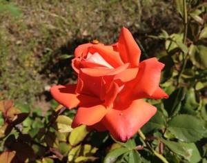 13D20 ladybug rose