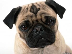 Pug_Dog2